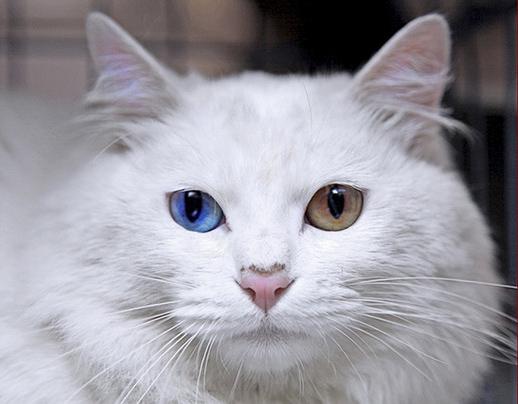 bowiee kitty