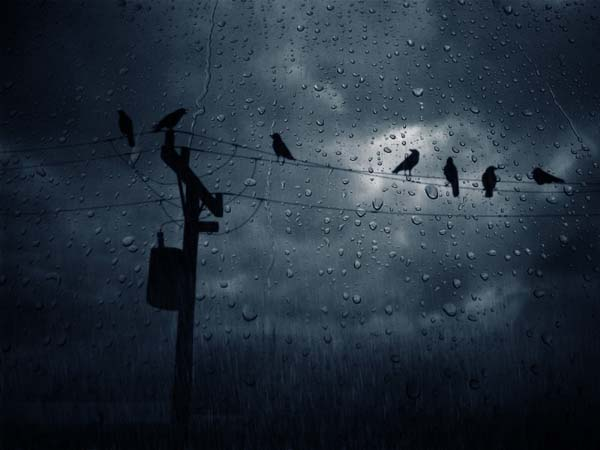 crows in rain LG